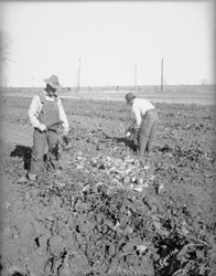 Workers in a Sugar Beet Field